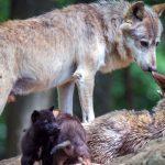 Leggende e antichi culti sui lupi nel comune di Sorano